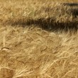 Wheat field — Stock Photo #33219503
