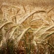 Wheat — Stock Photo #39105279