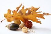Acorns oak leaves — Stock Photo
