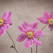 Stock Photo: Three Anemone Flowers