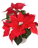 Christmas flower poinsettia — Stock fotografie