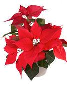 Christmas flower poinsettia — Stockfoto