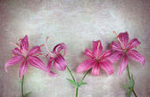 Pink lilies flowers — Stock Photo