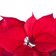 Stock Photo: Red christmas flower poinsettia