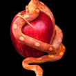 Snake wrapped around an apple isolated — Stock Photo