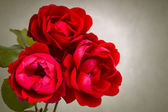 Garden red roses — Stock Photo