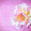 Garden rose — Stock Photo