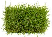 Fresh green wheatgrass — Stock Photo