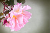 Pink garden rose — Stock Photo