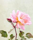 Giardino rosa rosa — Foto Stock