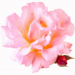 Stock Photo: Beautiful garden rose