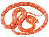 A snake — Stock Photo