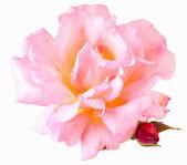 Schöne garten rose — Stockfoto