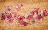 Pink hydrangea flower petals — Stock Photo