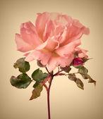 Vintage garden pink rose — Stock Photo