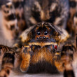 Macro photo shot  of tarantula spider - Stock Photo