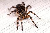 Widok z góry pająka tarantuli — Zdjęcie stockowe