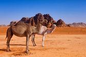 A wild camel family in Wadi Rum desert — Stock Photo