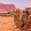 Royalty-Free Stock Photo: Camel in the desert