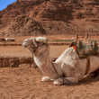 White camel in the desert of Jordan — Stock Photo