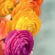 Close up of colorful ranunculus flowers — ストック写真
