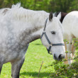 Close up of arabigrey horse — Stockfoto #25245401