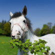 A close up of a grey horse eating green plants — Stock Photo