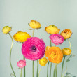 Colorful ranunculus flower on vintage background — Stock Photo