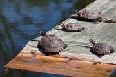 Four turtles taking a sun bath — Stock Photo