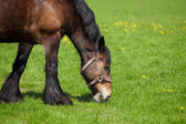 Brown horse eating grass on a field — Stock Photo