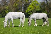 две белые лошади едят свежую траву на поле — Стоковое фото