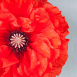 A big poppy flower on vintage background — Photo