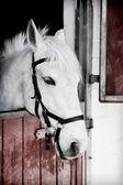 Potro gris 13 años de edad, dentro de un establo — Foto de Stock