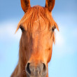 Portrait of a beautiful bay horse outdoors in the rays of the s — Stock Photo