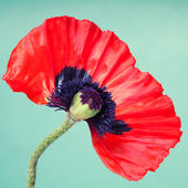 Half a red poppy flower on a faint green background — Stock Photo