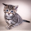 Stock Photo: Little cute kitten with blue eyes