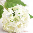 White hydrangea flower on a wooden vintage  background — Stock Photo