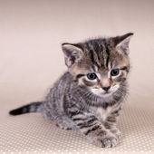 Little cute kitten — Stock Photo