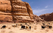 Herd of goats in rocky Wadi rum desert — Stock Photo