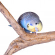 Stock Photo: A blue budgie looking curiously at the camera, isolated on white