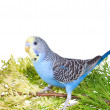 A blue male budgie sitting on a green branch, isolated on white — Stock Photo #33327237