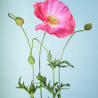 Pink poppy flower on light blue background — Stock Photo