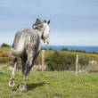 Grey horse galloping across green meadow, selective focus — Stock Photo #33879585