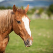 Portrait of a bay horse, 9 years old, outdoors in the rays of th — Stock Photo