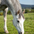Grey horse 6 years old, eating  fresh green grass on a field — Stock Photo