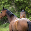 Two twin 6 year old horses both looking at the camera — Stock Photo