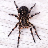 Top view of tarantula spider — Stock Photo