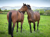 Two beautiful twin 6 year old horses cleaning each other — Stock Photo
