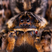 Macro photo shot of tarantula spider — Stock Photo