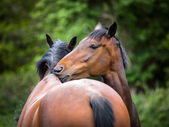 Two twin 6 year old bay horses cleaning each other — Stock Photo